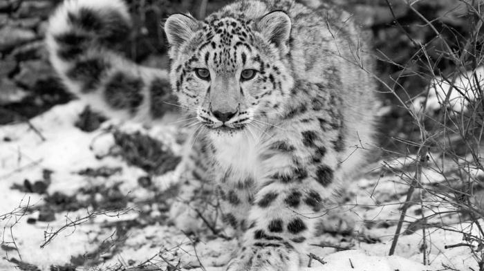 snow leopards, animals, leopard