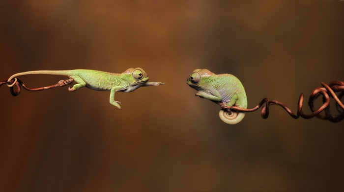 jumping, twigs, chameleons, reptile, wildlife, green, hope, blurred, animals