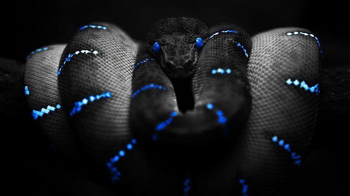 Boa constrictor, snake, blue, selective coloring, black