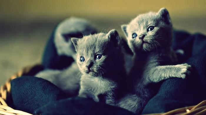 kittens, cat, baby animals