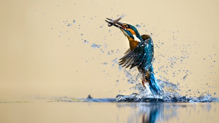 fishing, animals, reflection, water drops, nature, birds, hunting, water, kingfisher, fish