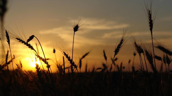 sunset, silhouette, nature, sunlight, wheat