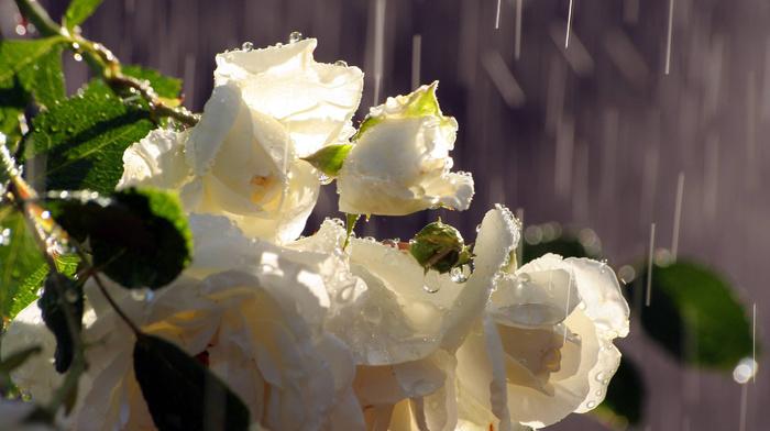 drops, rain, roses, water, flowers, bouquet