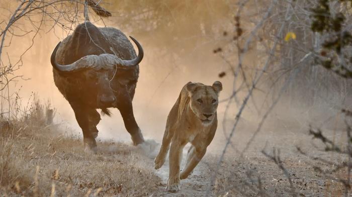 buffalo, hunter, nature, lion, animals