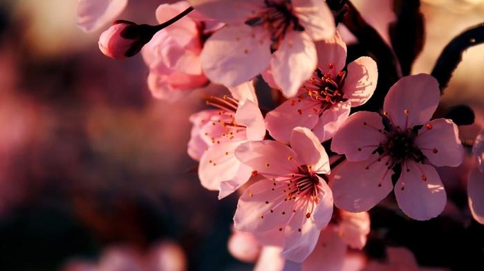 flowers, bloom, branch, sakura, spring, cherry