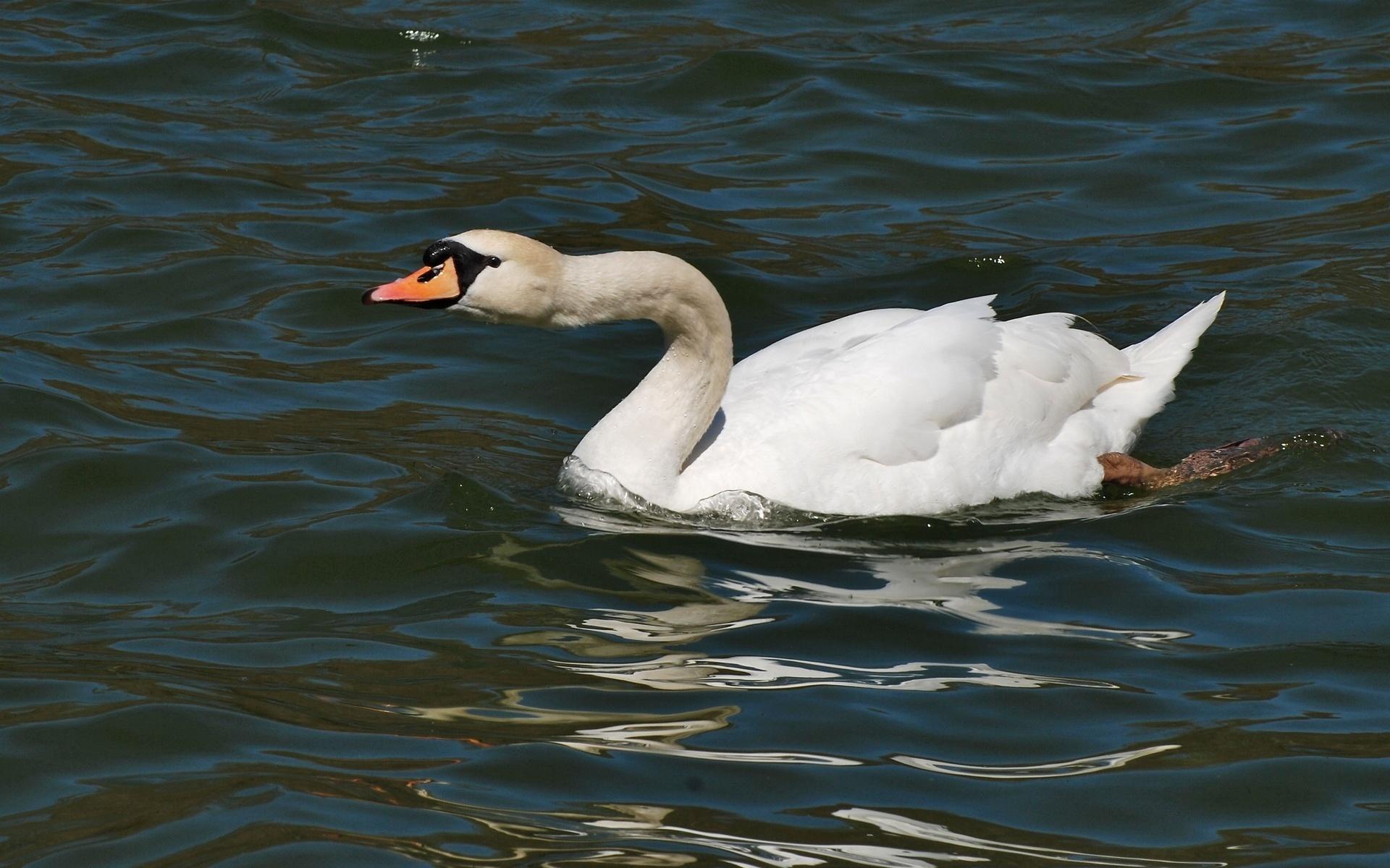 Своим руками лебедь на воде