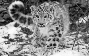 snow leopards, animals, leopard