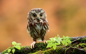 branch, owl, birds, animals, baby animals, moss