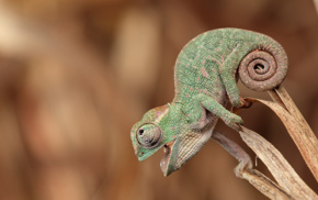 anime, skin, nature, animals, tail, chameleons