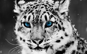 animals, selective coloring, leopard, snow leopards
