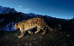 big cats, rock, sky, animals, Apple Inc., leopard
