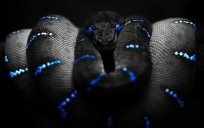 змея, синий, селективные раскраски, черный