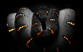 snake, selective coloring, black, Boa constrictor, orange