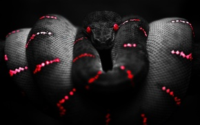red, Boa constrictor, black, snake