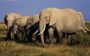слоны, бивни, серые тела, животные
