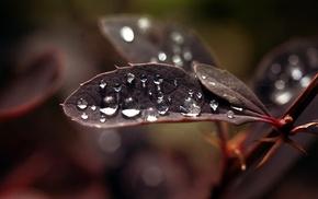 water drops, leaves, macro