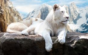 lion, animals
