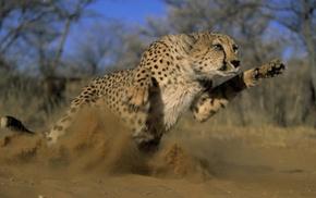 cheetahs, animals