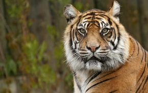 animals, tiger