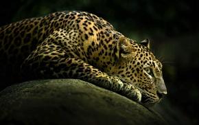 животные, леопард