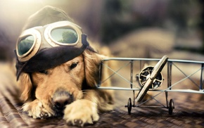 goggles, airplane, sunlight, pilot, golden retrievers, animals