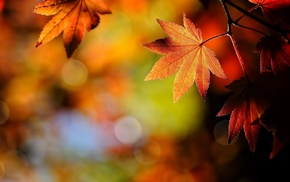 beautiful, foliage, autumn, branch, macro