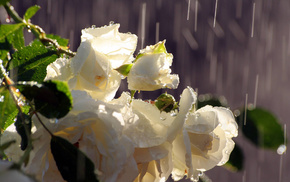drops, rain, roses, water, flowers