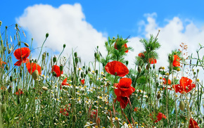 sky, chamomile, flowers, poppies, clouds