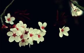cherry blossom, white flowers, flowers, macro