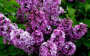 bushes, flowers, bloom