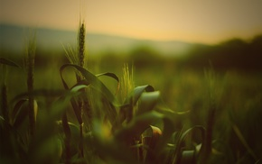 spikelets, wheat, depth of field, nature