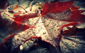leaves, maple leaves, dew, water drops, macro, nature