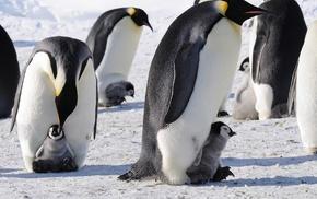 penguins, ice, snow, birds, baby animals