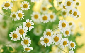 chamomile, macro, flowers, greenery, bouquet