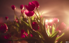 flowers, pink flowers, sunlight, tulips