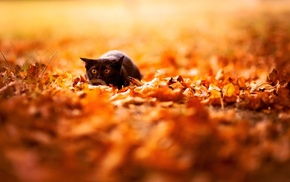 nature, depth of field, fall, leaves, black cats, animals