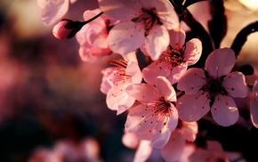 flowers, bloom, branch, sakura, spring