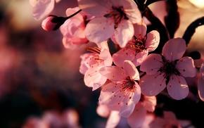 flowers, bloom, branch, sakura, spring