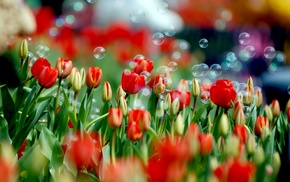 tulips, spring, flowers, flower