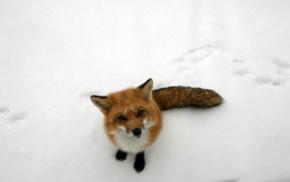 лиса, снег, животные