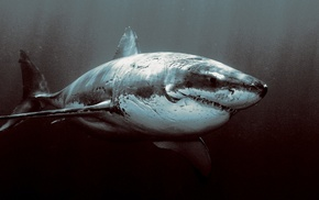 Great White Shark, shark, animals