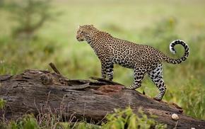 predator, animals, leopard, nature