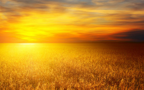 wheat, photo, nature, Sun