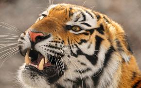 крупный тигр, Амурский тигр, amur tigr, животные, дальневосточный, уссурийский