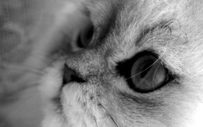cat, macro, animals, gray background