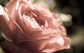 flowers, rose, petals, macro