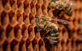 bees, macro, animals