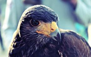 birds, hawks, closeup